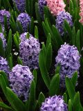 Hyacinth Bulbs- Bedding, Blue Star