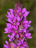 Loosestrife, Purple (Lythrum salicaria) Plant