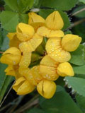 Trefoil, Greater Bird's-foot (Lotus uliginosus) Plant