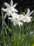 Thalia Narcissi Bulbs