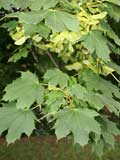 Maple, Norway (Acer platanoides)