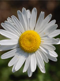 Daisy, Ox-eye (Leucanthemum vulgare) Seeds