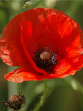 Poppy, Common (Papaver rhoeas) Seeds