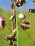 Quaking-grass, Common (Briza media) Seeds