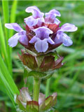 Self-heal (Prunella vulgaris) Seeds