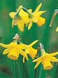 Tete a Tete Dwarf Narcissi Bulbs - Bulk Buy
