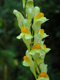 Toadflax, Common (Linaria vulgaris) Plant