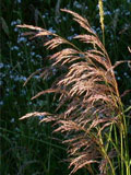 Tufted Hair-grass (Desch. caespitosa) Seeds