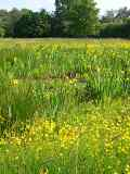 KMG6: Wetland & Pond Edge Wildflower Seeds Mixture