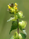 Yellow-rattle (Rhinanthus minor) Seeds - 2017 crop